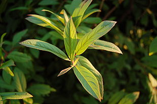 Virginia Sweetspire Itea virginica 'Henry's Garnet' Leaves 3008px.JPG
