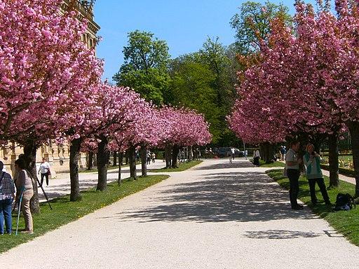 Würzburg-residenz-hofgarten-kirschblütenallee