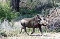 Warthog (37450478904).jpg