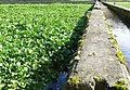 Watercress Beds, Lower Magiston - geograph.org.uk - 723277.jpg