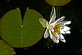 Weiße Seerose IMG 5463.jpg