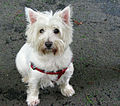 West-highland-white-terrier-dog.jpg