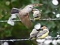 Western Kingbird (fledges and parents) (42900613614).jpg