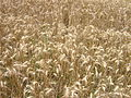 Wheat field 1.jpg