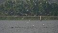 Whiskered Tern (Chlidonias hybridus) W IMG 3605.jpg