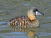 White-backed Duck RWD2.jpg