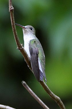 White-bellied Hummingbird (Amazilia chionogaster) (8077614792).jpg