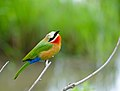 White-fronted Bee-eater (Merops bullockoides) (13738904843).jpg