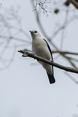 White-headed Vanga - Ankarafantsika - Madagascar S4E9175 (15108977528).jpg