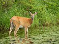 White-tailed Deer (15866475381).jpg