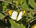 White Orange Tip (Ixias marianne) at Sindhrot near Vadodara, Gujrat Pix 056.jpg