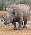 White Rhino (Ceratotherium simum) (32456964146).jpg
