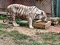 White Tiger in Bannerghatta National Park.jpg