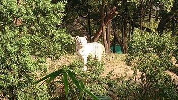 White Tiger in Nehru Zoological Park-Hyderabad.jpg