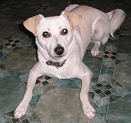 White dog lying on the floor.jpg