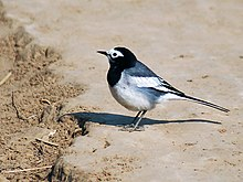 White wagtail - Male (Non-breeding- personata race) at Hodal- I3-Haryana IMG 8813.jpg