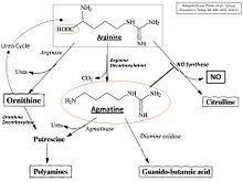 Agmatine - Wikipedia