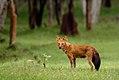 Wild dog DSC1954.jpg