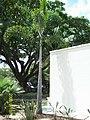 Wodyetia bifurcata en Jardín Botánico de Caracas.JPG