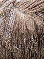 Wool Wensleydale Longwool sheep white.jpg