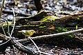 Worm-eating warbler (47582871901).jpg