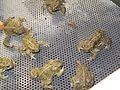 Wyoming Toads at Saratoga NFH (5347548571).jpg
