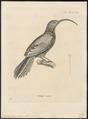 Xiphorhynchus procurvus - 1700-1880 - Print - Iconographia Zoologica - Special Collections University of Amsterdam - UBA01 IZ19200251.tif