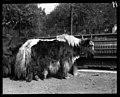 Yak. Lincoln Park Zoo. 1900. (3405476336).jpg