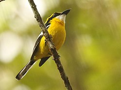 Yellow-breasted Boatbill 2.jpg