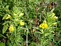 Yellow Bartsia at Andrew's Wood - geograph.org.uk - 243008.jpg