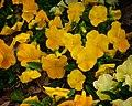 Yellow Poppies (5544792611).jpg