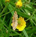 Yellow Shell. Camptogramma bilineata hibernica - Flickr - gailhampshire (1).jpg