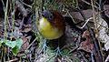Yellow breasted Antpitta. Grallaria Flavotincta - Flickr - gailhampshire.jpg