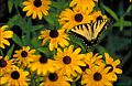 Yellow butterfly with black tiger stripes on wings sitting among yellow blossoms with brown centers.jpg