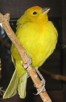 Yellowgreen finch 2.jpg