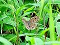 Ypthima baldus - Sahyadri Common Five-ring - Mugilu 03.jpg