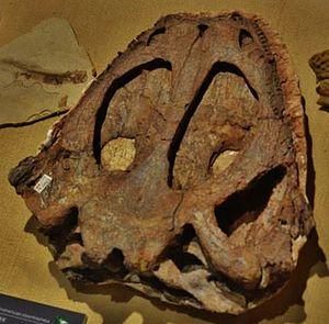 Yuanansuchus - Skull