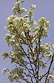 Yucca elata flowers.jpg