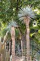 Yucca luminosa syn Yucca rigida (jardin Majorelle).JPG