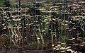 ZPK Nawionek Lobelia dortmanna w towarzystwie Potamogeton natans 04.07.10 p.jpg