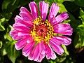 Zinnia Flowers گل آهاری 14.jpg
