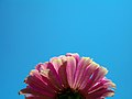 Zinnia Flowers گل آهاری 20.jpg