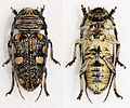 Zographus niveisparsus (16307949348).jpg