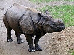 Zoo Beauval 12 06 2010 04 Rhinocéros indien.jpg