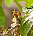 Zosteropidae chicks in a nest, Singapore - 20110730.jpg