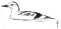Zwarte zeekoet Cepphus grylle Jos Zwarts.tif