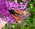 Zygaena purpuralis (16277460687).jpg