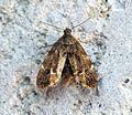 (0385) Anthophila fabriciana - Flickr - Bennyboymothman (1).jpg