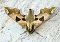 (1979) Lime Hawk-moth (Mimas tiliae) (13962041656).jpg
