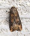 (2091) Dark Sword-grass (Agrotis ipsilon) - Flickr - Bennyboymothman (1).jpg